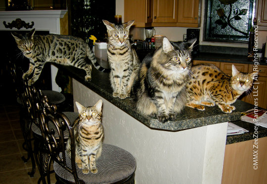 cat hooligans on and near kitchen counter