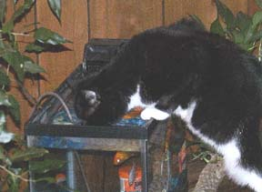 cat drinking from fishtank